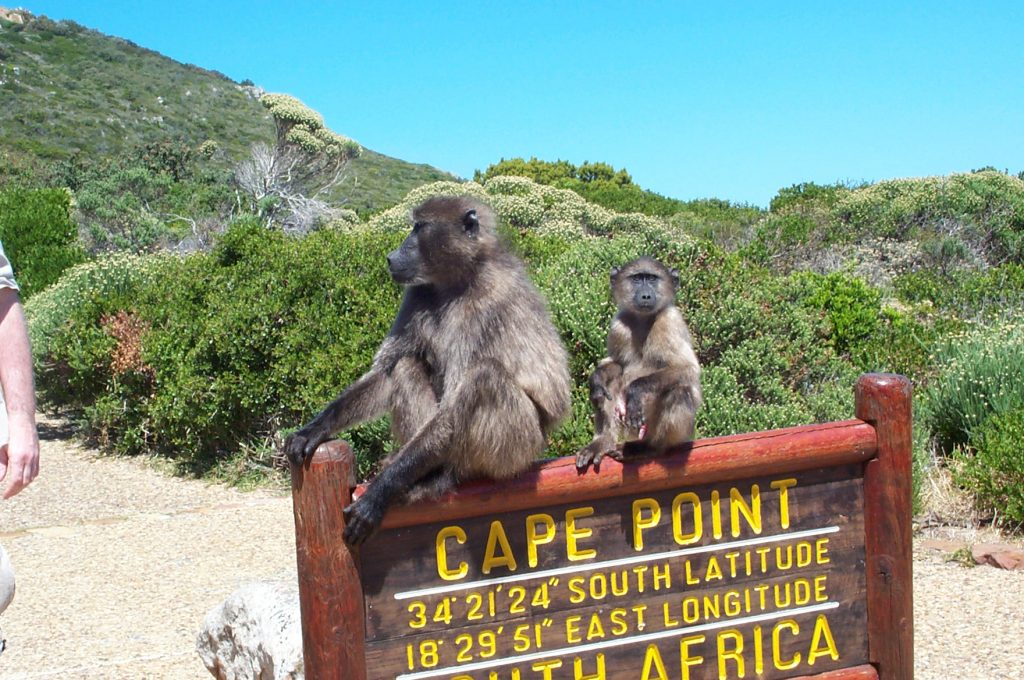 Baboons at Cape-Point Nature Reserve