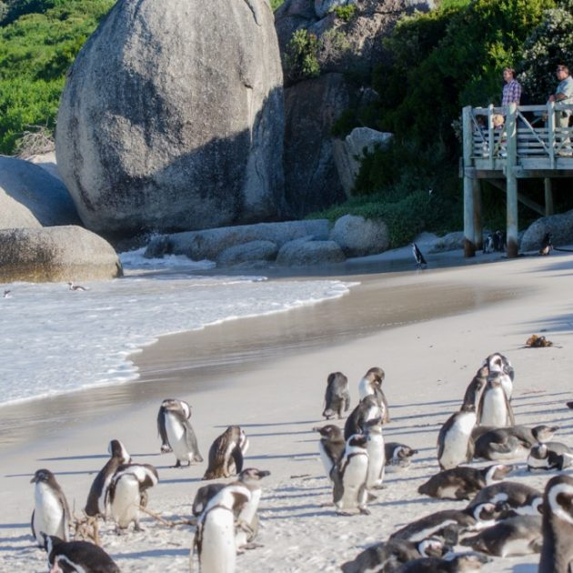 Penguins at boulders beach on Cape Point Tour