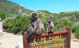 Baboons at Cape Point Nature Reserve