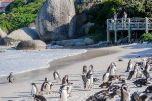 Penguins at boulders beach on Cape Point Tour